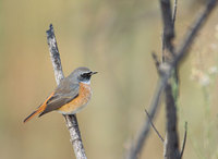 Common Redstart (Phoenicurus phoenicurus) photo