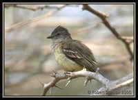 Northern Scrub-Flycatcher - Sublegatus arenarum