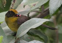 Tricolored Brush-Finch - Atlapetes tricolor
