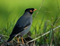 Bank Myna (Acridotheres ginginianus)