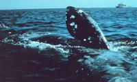 North Atlantic Right Whale off New England coast
