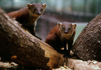 : Galidia elegans; Malagasy Ring-tailed Mongoose