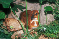 : Tragulus napu; Larger Malay Chevrotain (a.k.a. Mouse Deer)