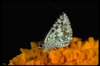 : Pyrgus communis; Checkered Skipper butterfly