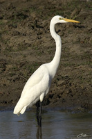 Ardea alba   Great Egret photo