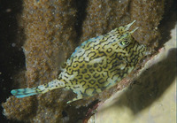 Acanthostracion quadricornis, Scrawled cowfish: fisheries, aquarium