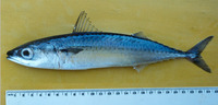 Scomber japonicus, Chub mackerel: fisheries, aquaculture, gamefish, bait