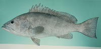 Epinephelus polylepis, Smallscaled grouper: fisheries