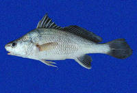 Ophioscion typicus, Point-nosed croaker: