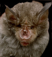 Image of: Rhinolophus ferrumequinum (greater horseshoe bat)