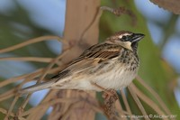 Passer hispaniolensis - Spanish Sparrow