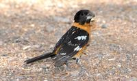 Image of: Pheucticus melanocephalus (black-headed grosbeak)