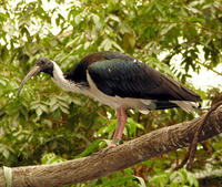 Image of: Threskiornis spinicollis (straw-necked ibis)