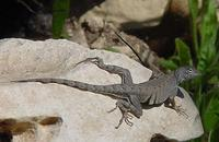 Image of: Cophosaurus texanus (greater earless lizard)
