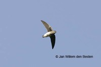 White-rumped Needletail - Zoonavena sylvatica