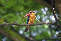 Stork-billed Kingfisher - Pelargopsis capensis
