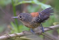 Black-hooded Antwren - Formicivora erythronotos