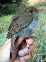 Ruddy-capped Nightingale-Thrush - Catharus frantzii