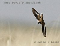 Pčre David's Snowfinch - Montifringilla davidiana