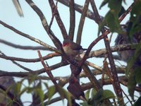 Orange-cheeked Waxbill - Estrilda melpoda