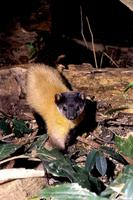 Yellow Throated Marten