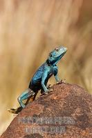 Agama lizard . Keetmanshoop . Namibia stock photo
