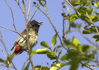 Pycnonotus cafer  Red-vented Bulbul photo