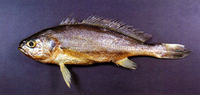 Larimichthys polyactis, Yellow croaker: fisheries, aquarium