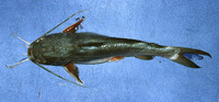Sciades herzbergii, Pemecou sea catfish: fisheries