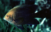 Hemiglyphidodon plagiometopon, Lagoon damselfish: fisheries, aquarium