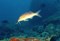 Parupeneus cyclostomus, Goldsaddle goatfish: fisheries, gamefish, aquarium