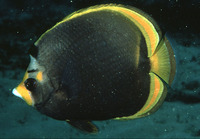 Chaetodon flavirostris, Black butterflyfish: aquarium