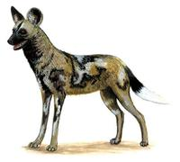 Image of: Lycaon pictus (African wild dog)
