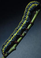 Image of: Ceramica picta (zebra caterpillar)