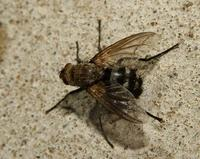 Image of: Tachinidae (tachinid flies)