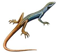 Image of: Platysaurus capensis
