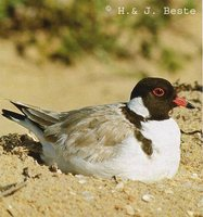 Hooded Plover - Thinornis cucullatus