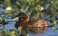 Masked Duck (Oxyura dominica) photo