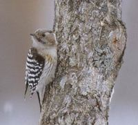 Pygmy Woodpecker (Dendrocopos kizuki) photo