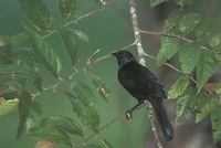Melodious Blackbird (Dives dives) photo