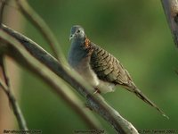 Bar-shouldered Dove - Geopelia humeralis