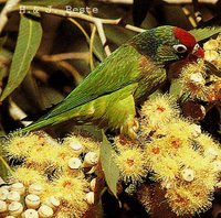 Varied Lorikeet - Psitteuteles versicolor