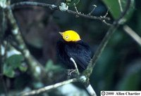 Golden-headed Manakin - Pipra erythrocephala