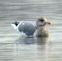 Thayer's Gull. Photo by Greg Gillson