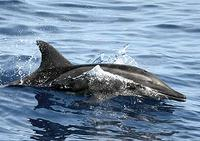 Rough-toothed dolphins (Steno bredanensis) are rarely observed at