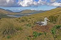 ...A huge Southern Royal Albatross incubates its eggs on scenic Campbell Island in the Subantarctic