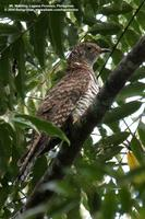 Oriental Cuckoo (a hepatic female)