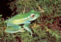 : Boophis luteus septentrionalis; Northern Green Treefrog