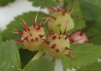 : Diplolepis polita; Spiny Leaf Gall Wasp