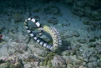 : Laticauda sp/ gymnothorax fimriatus; Banded Sea Krait/ Moray Eel